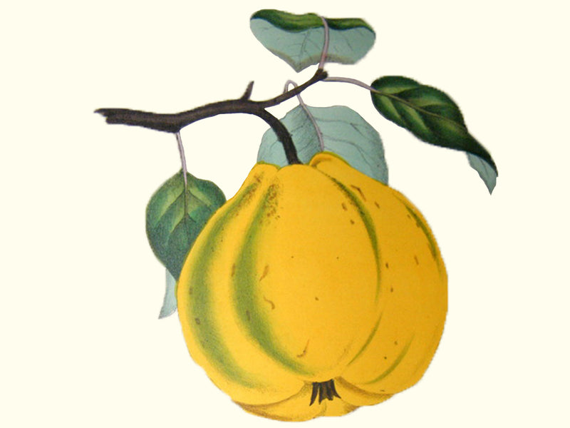 Quince, 'Bourgeault' scion
