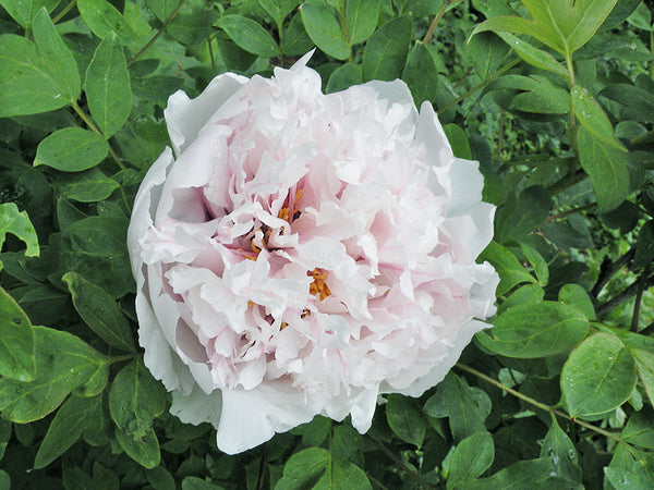 Red Fairy Chinese rockii tree peony WILL BE AVAILABLE FOR FALL 2021