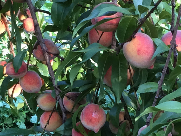 Peach, 'Red Haven'