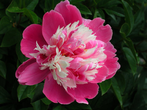 Rare Flower of Frosty Dew, Chinese herbaceous peony