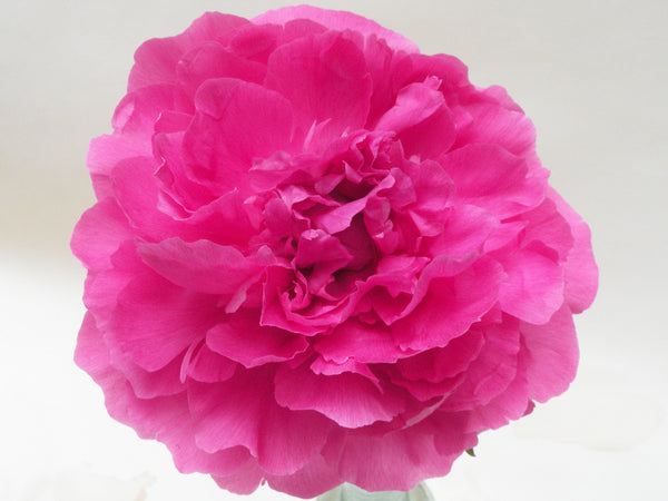 Riches and Honor, Chinese herbaceous peony