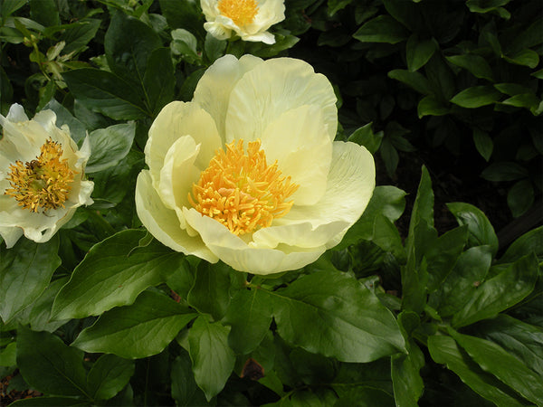 Roy Pehrson's Best Yellow, hybrid herbaceous peony
