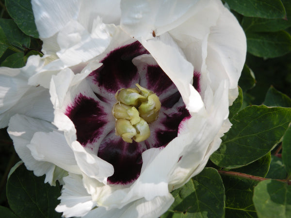 Glowing Complexion, Chinese rockii tree peony