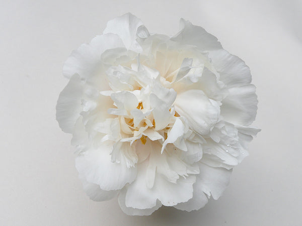 Gold Dusted Snowy Mountain, Chinese herbaceous peony