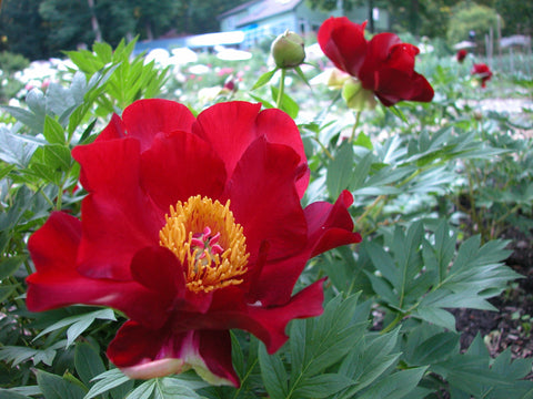 Scarlet Heaven, intersectional 'Itoh' peony