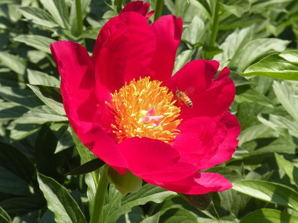 COOLER SALE Scarlet O'Hara, hybrid herbaceous peony