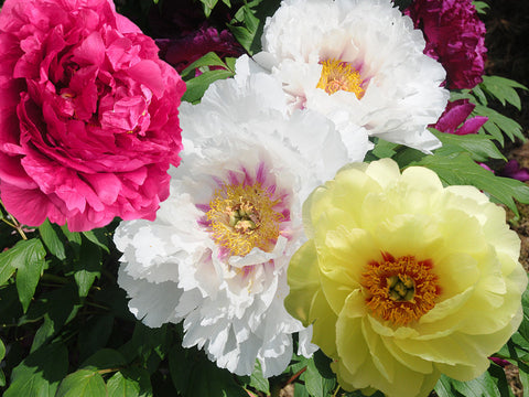 Sequential Bloomer tree peony collection