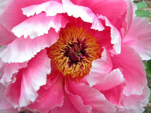 Seven Gods of Good Fortune, Japanese tree peony