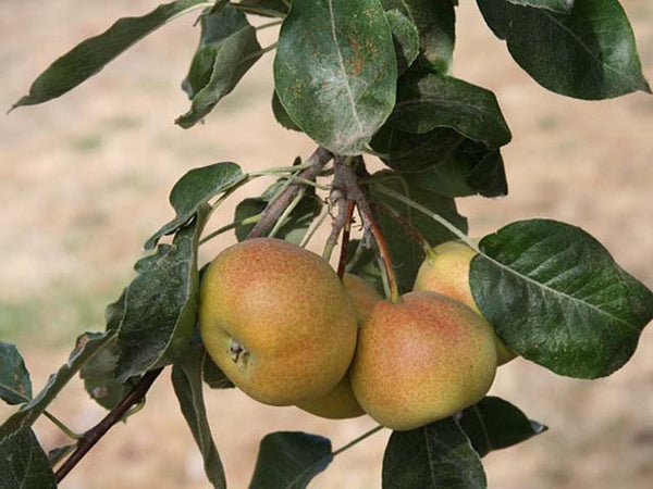 Shipova, ancient pear hybrid