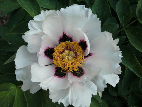 Snow Lotus, Chinese rockii tree peony