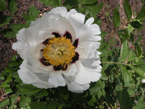 Snow Lotus on Icy Mountain, Chinese rockii tree peony
