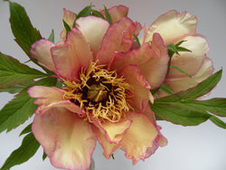 Spring Carnival, American hybrid tree peony WILL BE AVAILABLE FOR FALL 2021