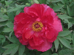 The Sun, Japanese tree peony