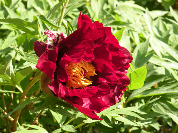 Thunderbolt, hybrid tree peony WILL BE AVAILABLE FOR FALL 2021