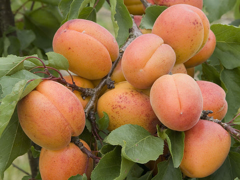 Apricot, 'Puget Gold'