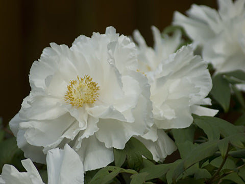 Tracery of White, Japanese tree peony