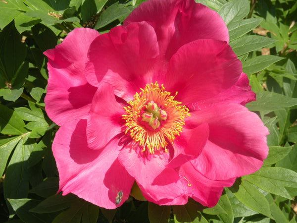 Watermelon Wine, intersectional 'Itoh' peony