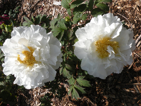 White Jade Lion, Japanese tree peony