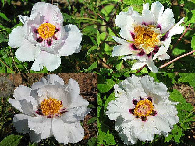 White Lotus, tree peony, in 4 size variants