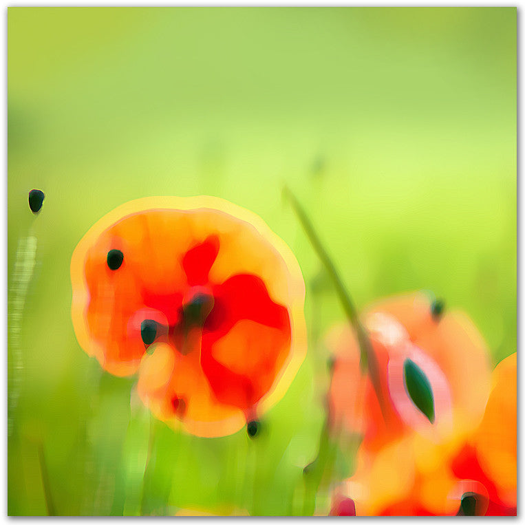 Lost Poppies
