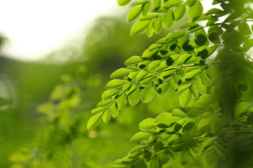 Top 5 Questions About Moringa . . . Answered