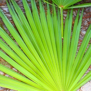 Why Almost Every Man Should Take Saw Palmetto