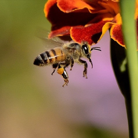 Have You Heard What's Happening To The Bees?