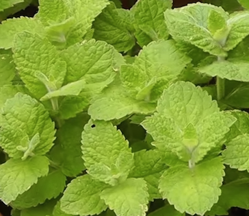 Collection of peppermint plants