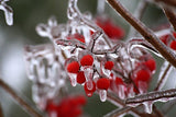 Hawthorn Berries in Winter
