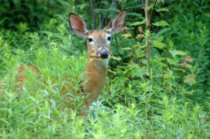 ENEMIES OF THE GARDEN: Deer & Rabbits and The Plants They Enjoy The Most