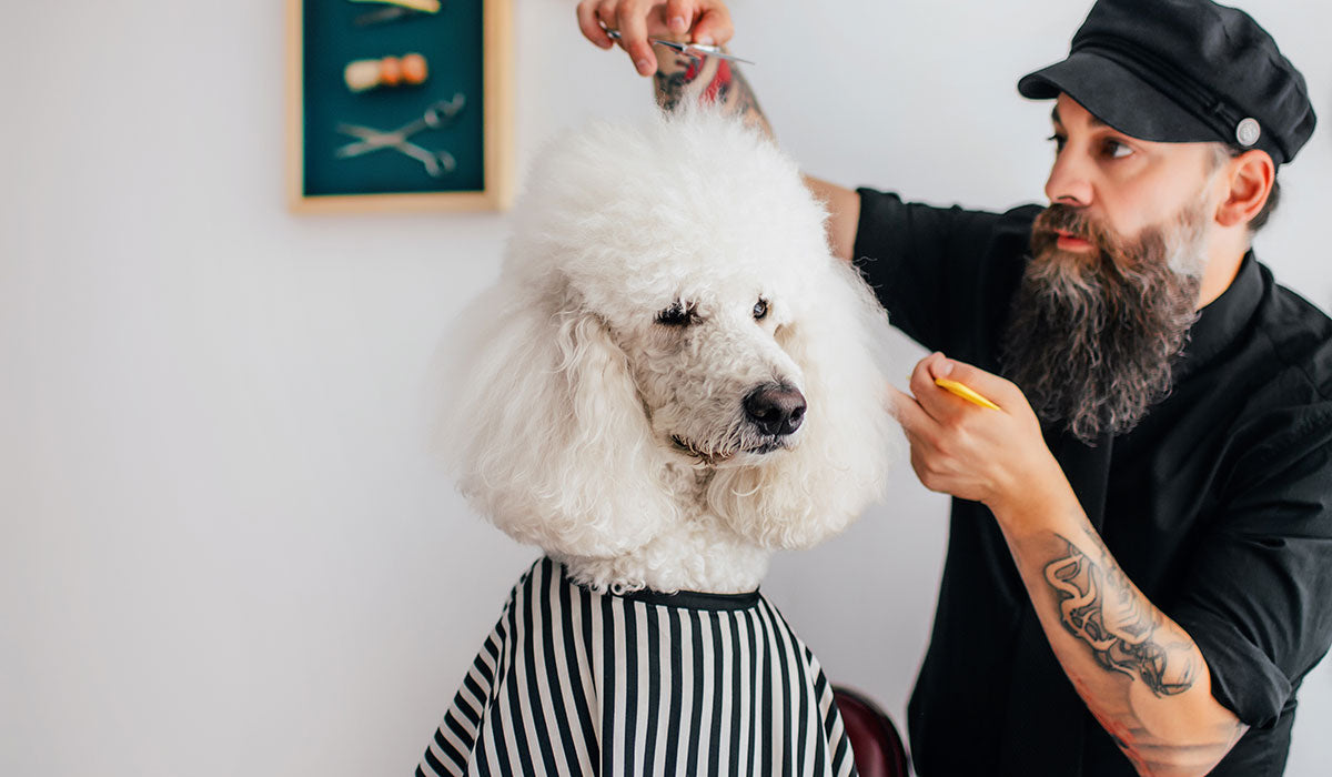 A fluffy white dog sitting and wearing a black and white cape while a bearded man with a black hat and wearing black long sleeve is cutting the hair with his right hand and his left hand assisting