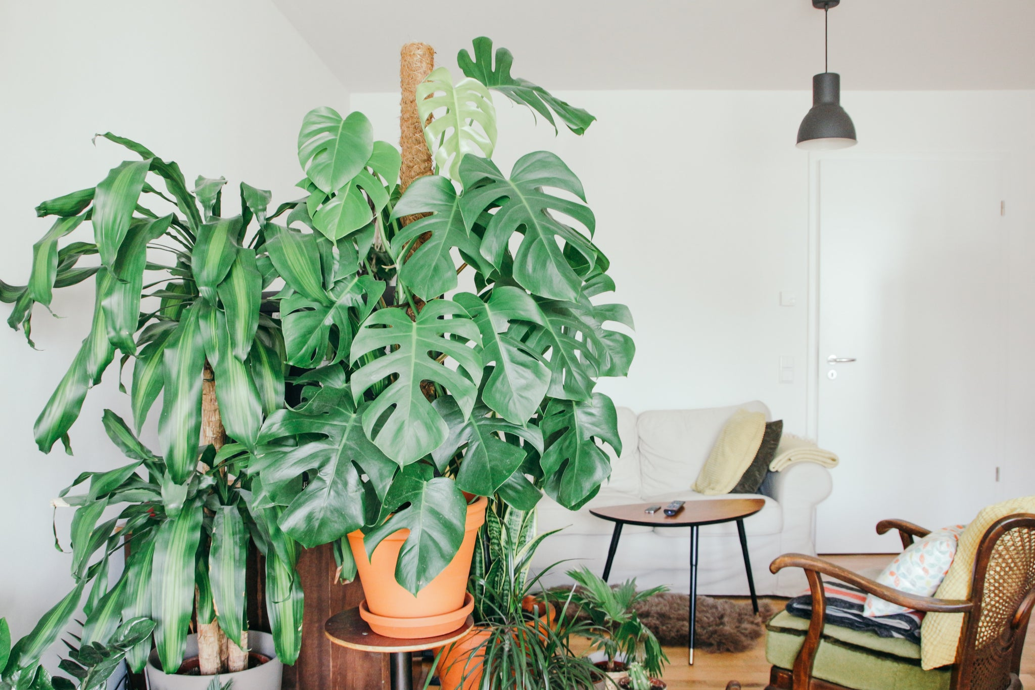 Large monstera plant in a terracotta pot, in a neutral colored living room next to two armchairs.