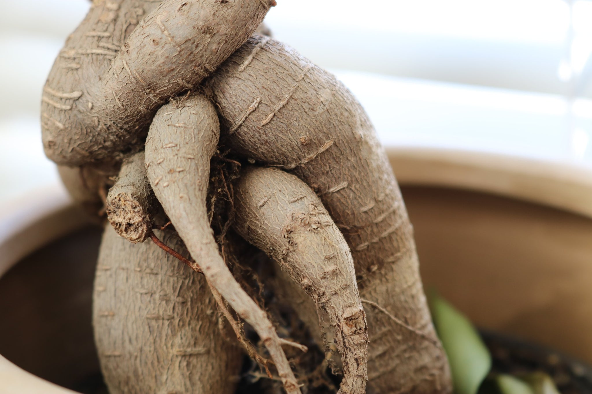 A close up of american ginseng roots growing out of a pot