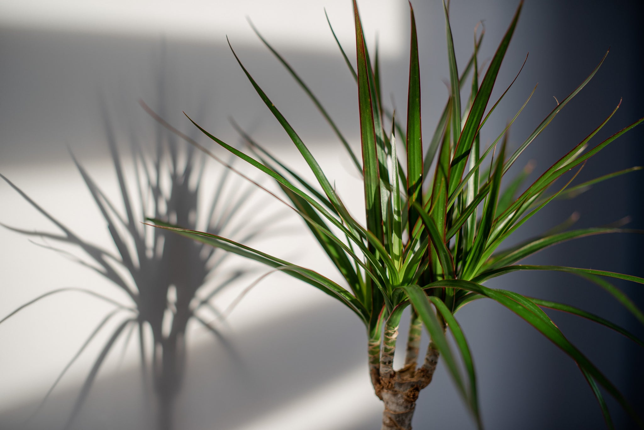 A corn plant (Dracaena) with the lighting casting a shadow of the plant on a white wall behind it.