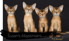 Susan's Abyssinians, all ages!