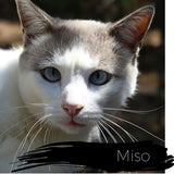 Miso, a Shinto's Kitty, Age 7