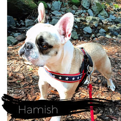 Hamish, a Shinto's French Bulldog