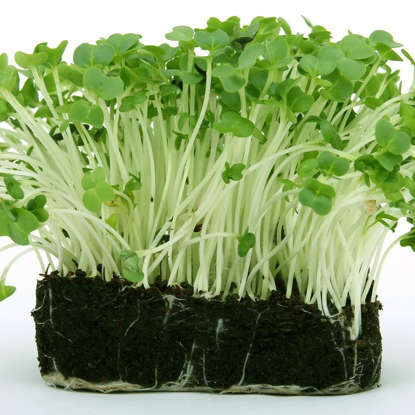 How to Grow Cress With or Without Soil - Wholesome Supplies