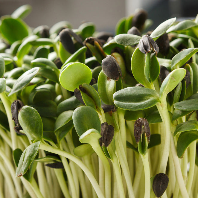 Sunflower Microgreens - Black Oil Sunflower