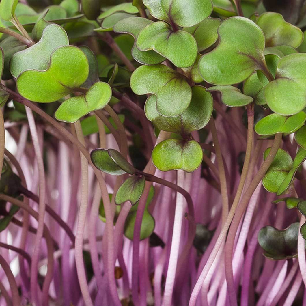 How to Grow Red Cabbage Sprouts