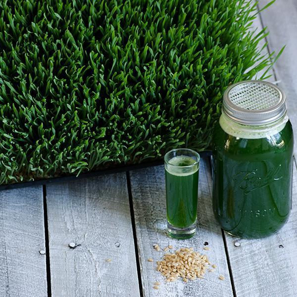 How to Grow Wheatgrass without Soil
