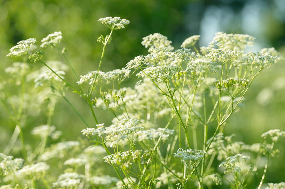 Anise Herb Seeds - Wholesome Supplies