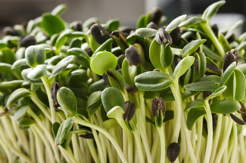 Black Oil Sunflower Microgreen Seeds - Wholesome Supplies
