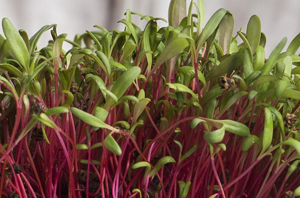 Red Swiss Chard Silverbeet Microgreen Seeds - Wholesome Supplies
