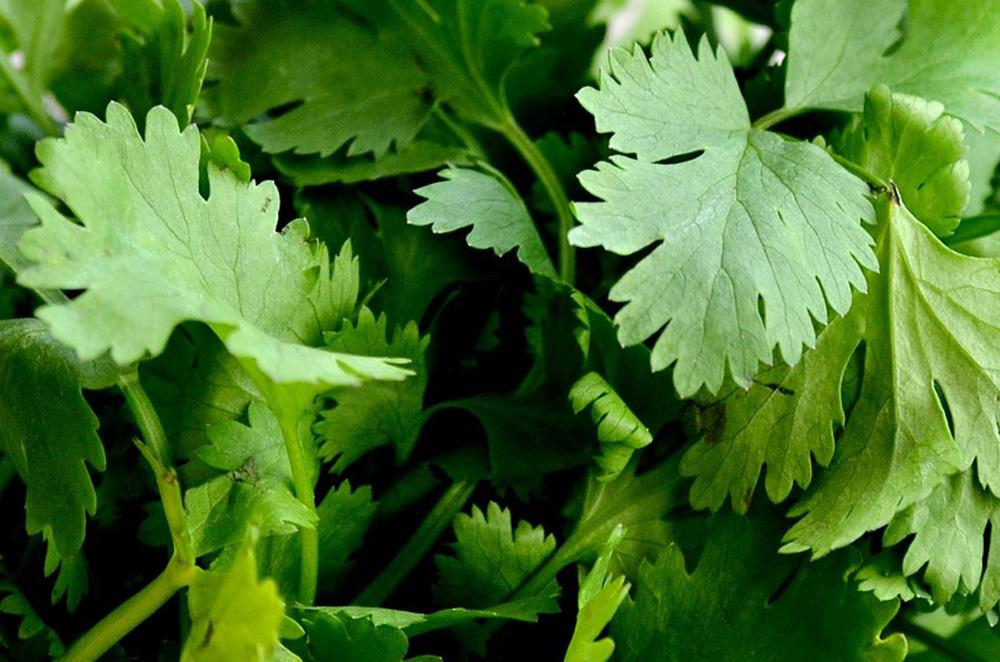 Coriander Slow Bolting Herb Seeds - Wholesome Supplies