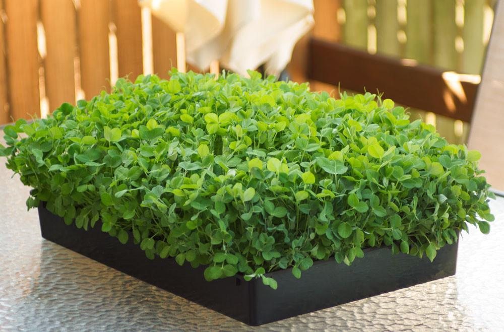 Microgreen Flat Growing Trays 60 cm x 30 cm - Wholesome Supplies