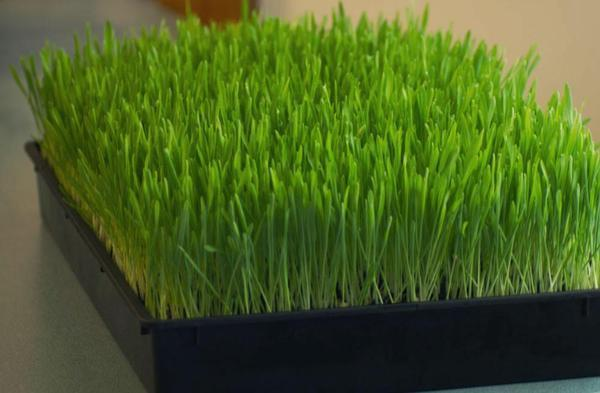"Microgreen Growing Tray 10"" x 20"" - Wholesome Supplies"