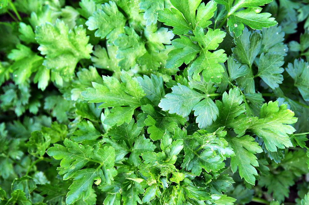 Italian Parsley Herb Seeds - Wholesome Supplies