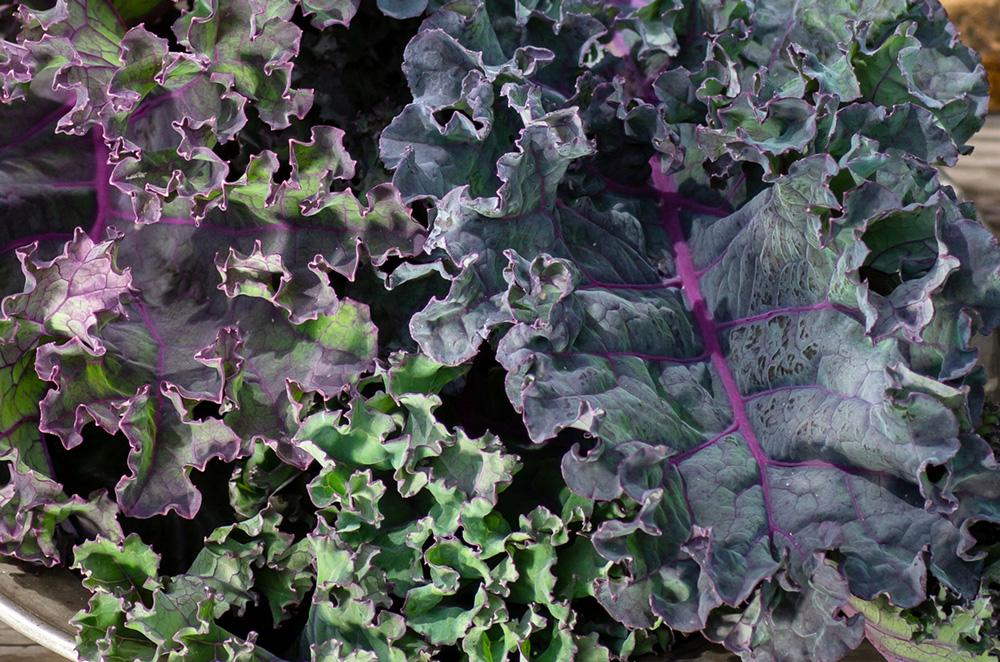 Kale Red Russian Vegetable Seeds - Wholesome Supplies