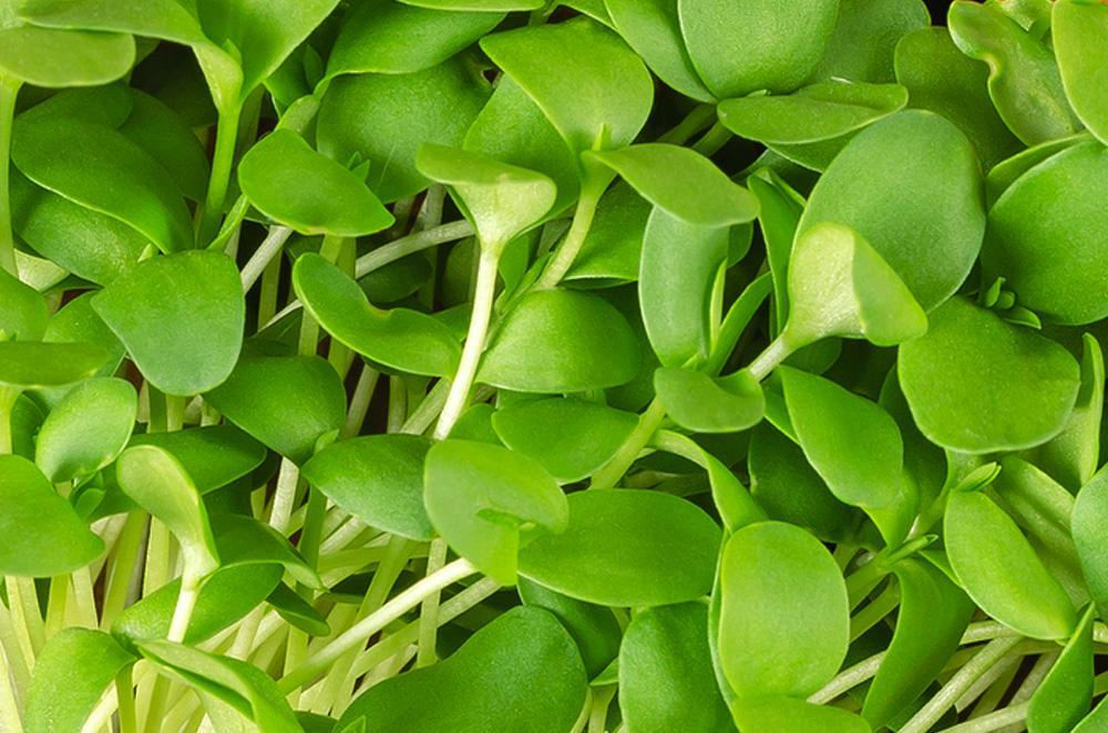 Linseed Brown Microgreen Seeds Bulk - Wholesome Supplies